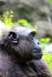 Macaco - orangotango Foto de Stock Royalty Free