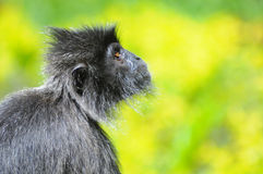Macaco pensativo Foto de Stock Royalty Free