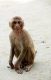 Macaco pequeno Foto de Stock