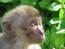 Macaco pequeno Fotos de Stock Royalty Free