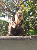 Macaco pequeno Foto de Stock Royalty Free