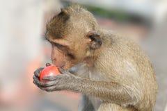 Macaco pequeno com tomate Foto de Stock Royalty Free