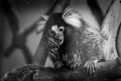 Macaco pequeno do sagui em preto e branco Imagens de Stock Royalty Free