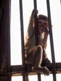 Macaco pequeno e o caso Fotos de Stock Royalty Free