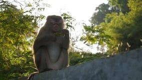 Macaco pequeno que come bagas contra a luz solar HD vídeos de arquivo