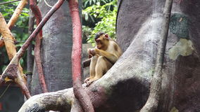 Macaco pequeno que senta-se em uma árvore e em um alimento das mastigações video estoque
