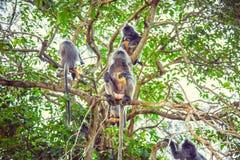 Macaco prateado da folha Família de langurs prateados Imagem de Stock
