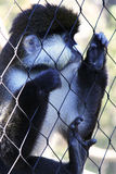 Macaco prendido fotos de stock royalty free