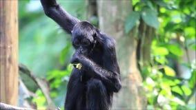 Macaco preto que come a pimenta amarela video estoque