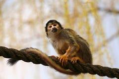 macaco Preto-tampado na corda imagem de stock royalty free