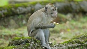 Macaco que aprecia a banana no jardim zoológico filme