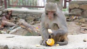 Macaco que come a fruta vídeos de arquivo
