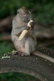 Macaco que come grãos Fotografia de Stock Royalty Free