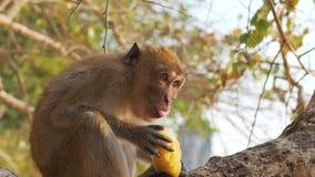 Macaco que come o fruto em uma árvore filme