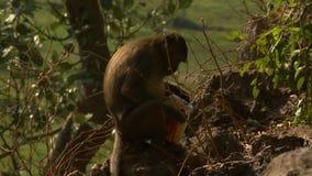 Macaco que come o saco do alimento vídeos de arquivo