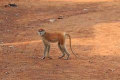 Macaco que cruza um trajeto Imagens de Stock