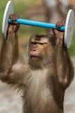 Macaco que faz esportes Fotografia de Stock