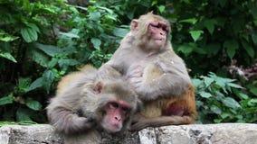 Macaco que grooning em Nepal vídeos de arquivo
