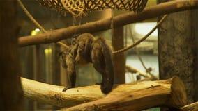 Macaco que leva seu Cub nse vídeos de arquivo