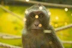 Macaco que levanta para a câmera Bom retrato wildlife fotografia de stock royalty free