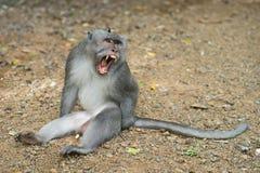 Macaco que mostra colmilhos Fotos de Stock Royalty Free