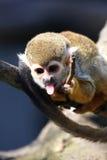 Macaco que mostra a lingüeta Foto de Stock