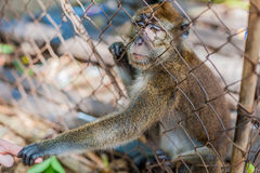 Macaco que olha através das barras foto de stock