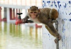 Macaco que procurara a água Fotografia de Stock