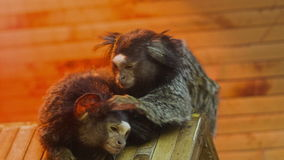 Macaco que procurara pulga vídeos de arquivo