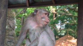 Macaco que senta-se calmamente no macaco Forest Sanctuary video estoque