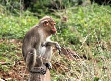 Macaco que senta-se com um estilo Foto de Stock Royalty Free