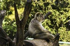 Macaco que senta-se em um coto fotos de stock royalty free