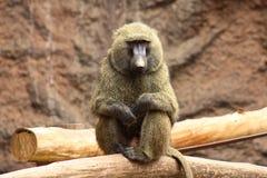 Macaco que senta-se em um tronco de árvore Fotos de Stock Royalty Free