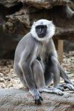 Macaco que senta-se em uma árvore Foto de Stock