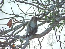 Macaco que senta-se em uma árvore que procura algo imagens de stock royalty free