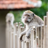 Macaco que senta-se na cerca Foto de Stock