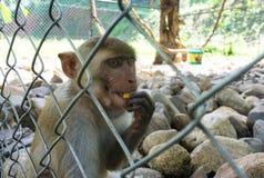 Macaco que senta-se na gaiola do jardim zoológico bebida animal a água Fotos de Stock Royalty Free