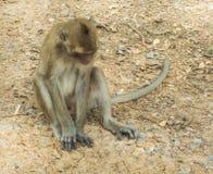Macaco que senta-se no assoalho fotos de stock royalty free