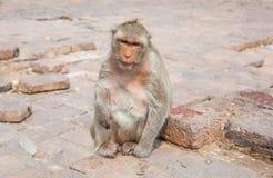 Macaco que senta-se no assoalho, Tailândia Fotografia de Stock Royalty Free