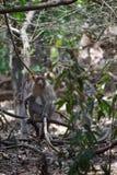 Macaco que senta-se no ramo em uma pose da sessão fotográfica imagem de stock