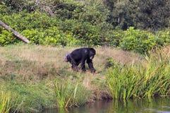 Macaco que vai para uma nadada Fotografia de Stock