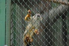 Macaco-Rhinopithecus dourado Foto de Stock