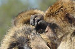 Macaco, ritratto della scimmia, Gibilterra Primati del verro nel selvaggio fotografie stock libere da diritti