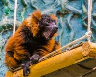 Macaco ruffed vermelho do lêmure que faz o som, specie animal criticamente posto em perigo de Madagáscar foto de stock royalty free