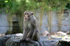 Macaco só Foto de Stock