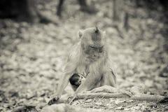 Macaco só Imagem de Stock Royalty Free