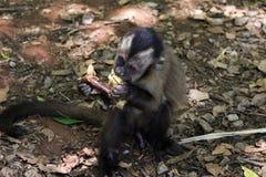 Macaco Sapajus que senta-se comendo a maçã fotos de stock royalty free
