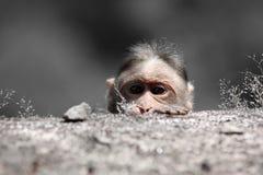 Macaco Scared imagem de stock