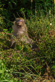 Macaco selvagem fotos de stock