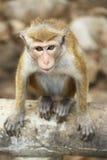 Macaco selvagem Fotos de Stock Royalty Free